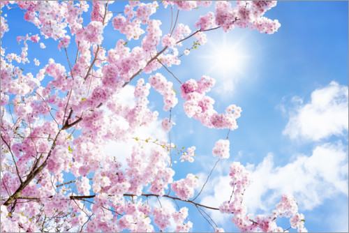 Plakat Pink cherry blossom in front of blue sky