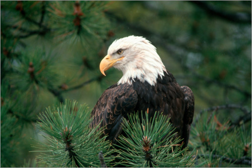 Plakat Bald eagle perched in a pine tree