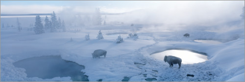 Plakat Bisons and geysers in Yellowstone National Park, USA