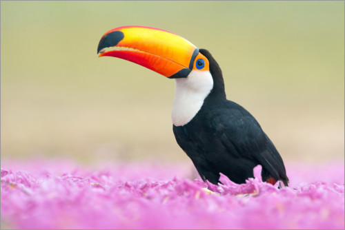 Plakat Toucan in the sea of flowers