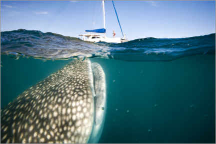 Plakat  Whale shark with a yacht - Christopher Swann