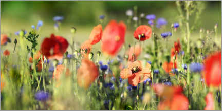 Plakat Poppy, grain and wildflower meadow