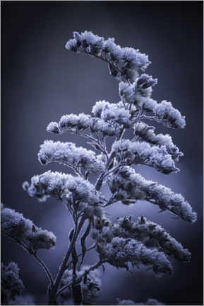Gallery print  Frost in winter - Christian Möhrle