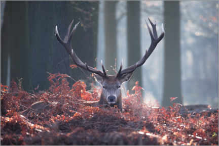 Plakat A majestic red deer stag