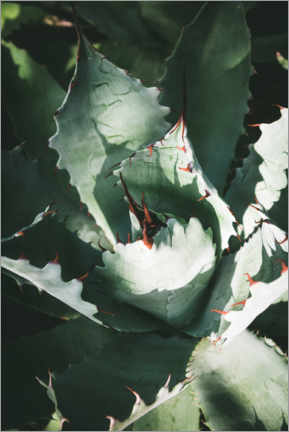 Plakat Silver agave