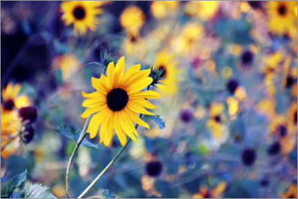 Plakat Sunflowers in the wind
