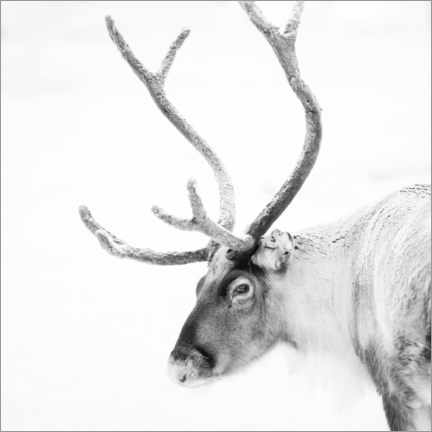 Obraz na PCV  Reindeer in the Arctic - Matthew Williams-Ellis