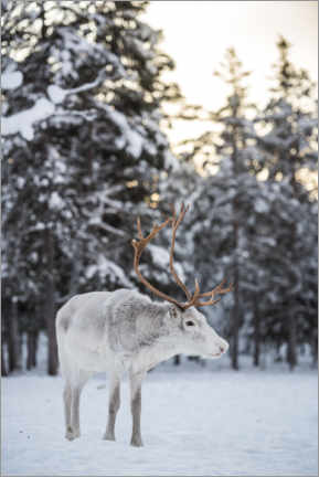 Plakat Reindeer at Sunset in the Winter Forest