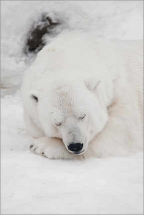Obraz na drewnie  Relaxed polar bear settled down to sleep - Mikhail Semenov