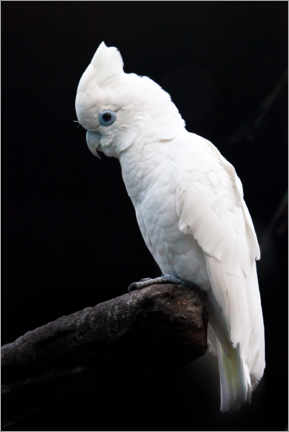 Obraz na drewnie  Beautiful white cockatoo - Mikhail Semenov