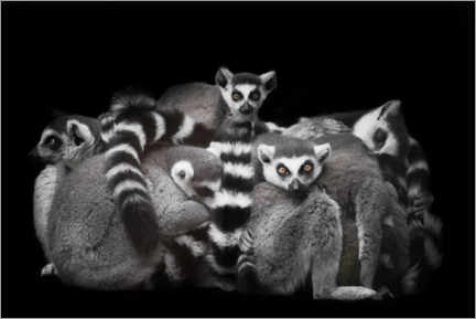 Plakat Ring-tailed lemurs sleep in a bunch