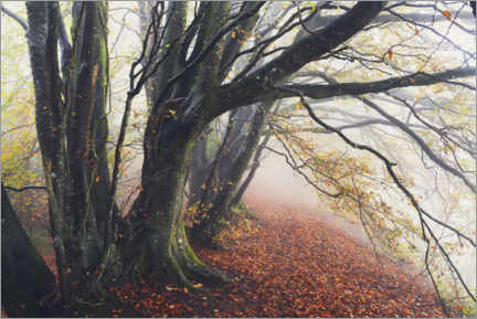 Plakat Wondrous beeches in autumn and fog in England