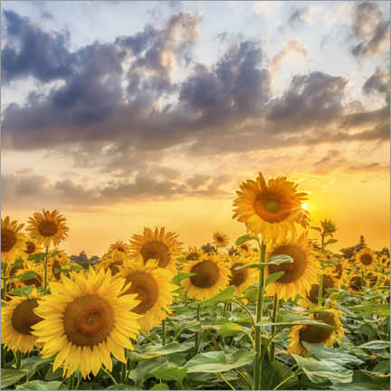 Plakat Sunflowers in the evening