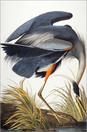 Obraz na drewnie  Great Blue Heron - John James Audubon