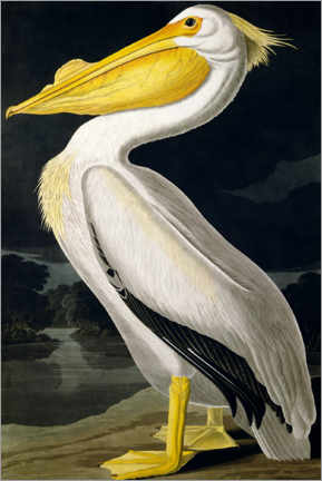 Obraz na płótnie  American White Pelican from Birds of America - John James Audubon