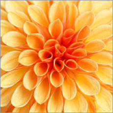 Gallery print  Yellow Dahlia - Martina Cross