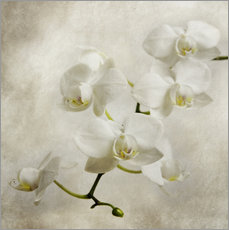 Gallery print  White orchid - Hannes Cmarits