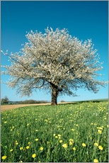 Naklejka na ścianę  Blossoming cherry tree in spring on green field with blue sky - Peter Wey