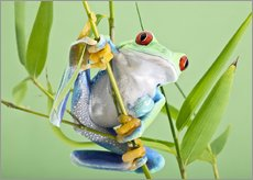 Naklejka na ścianę  Red-eyed tree frog - Linda Wright