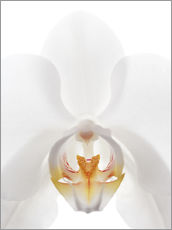 Gallery print  in the throat of the Orchid - GAVIN KINGCOME