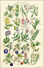 Gallery print  Wildflowers - Sowerby Collection