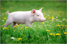 Gallery print  Piglet on a Spring Meadow