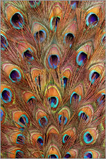 Gallery print  Peacock feathers bronze