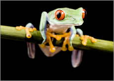 Gallery print  Tree frog on black