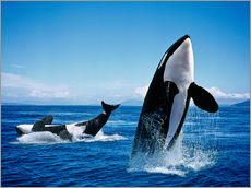 Gallery print  Performance of the killer whales - Gérard Lacz