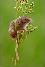 Gallery print  Harvest Mouse climbing Meadowsweet - FLPA