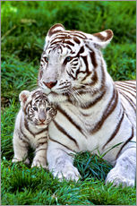 Gallery print  White tiger mother with child - Gérard Lacz