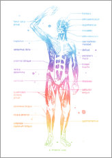 Gallery print  Rainbow muscle system I. - Mod Pop Deco