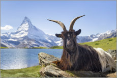 Obraz na drewnie  Matterhorn with Valais black-necked goat - Jan Christopher Becke