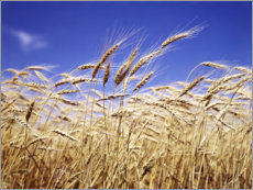 Plakat Barley heads in front of blue sky