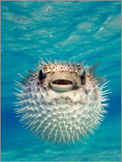 Obraz na drewnie  Inflated puffer fish
