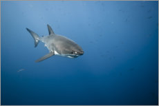 Plakat Great white shark I