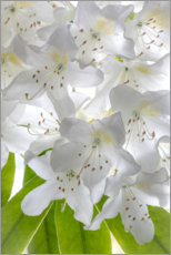 Plakat White rhododendron flowers