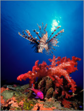 Plakat Lionfish and soft coral