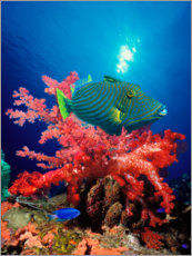 Plakat Triggerfish and soft coral