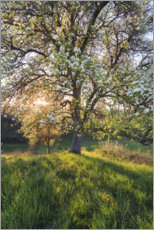 Obraz na aluminium  Blossoming pear tree in the sunset light - The Wandering Soul