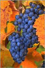Gallery print  Grapes in the autumn leaves - Janis Miglavs