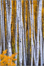 Naklejka na ścianę  Aspen trees in autumn - David Svilar