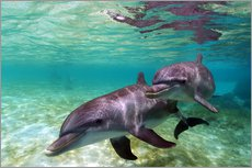 Gallery print  Two bottlenose dolphins from the beaches of the Caribbean - Stuart Westmorland