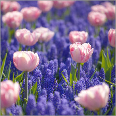 Gallery print  meadow of tulips - pixelliebe