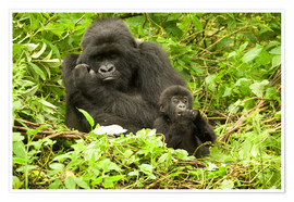 Plakat  Gorilla with baby in the green - Joe & Mary Ann McDonald