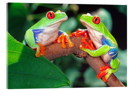 Obraz na szkle akrylowym  Two red-eyed tree frogs - David Northcott