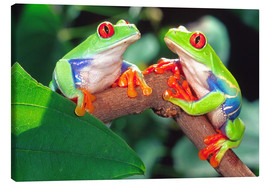 Obraz na płótnie  Two red-eyed tree frogs - David Northcott