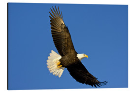 Obraz na aluminium  Bald eagle in flight - David Northcott
