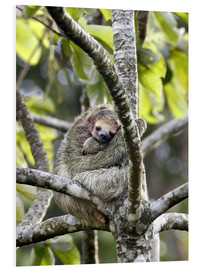 Obraz na PCV  Three-finger sloth rests on tree - Don Grall
