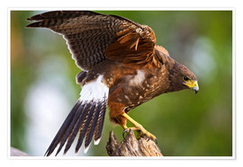 Plakat  Desert buzzard with wide wings - Larry Ditto
